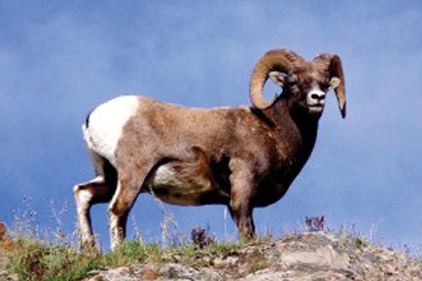 【実録】壮大なカナディアン・ロッキーに囲まれた街「ジャスパー」で出会った野生動物
