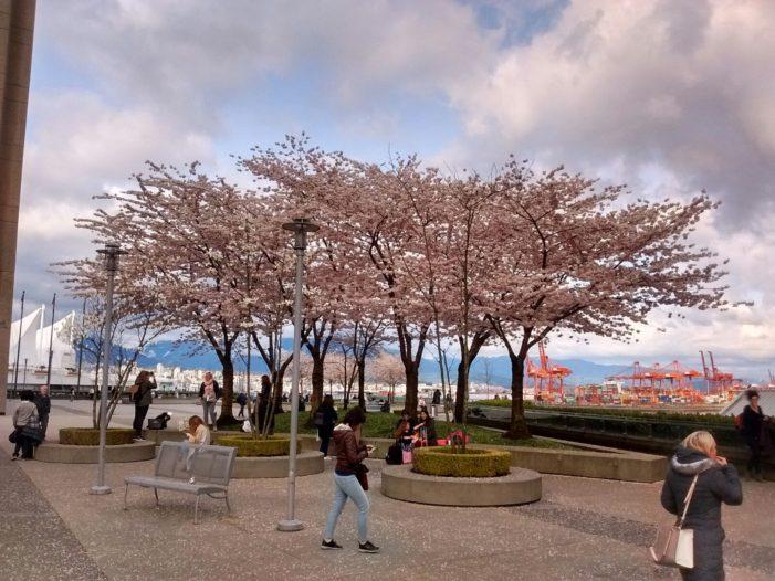 バンクーバーの桜!