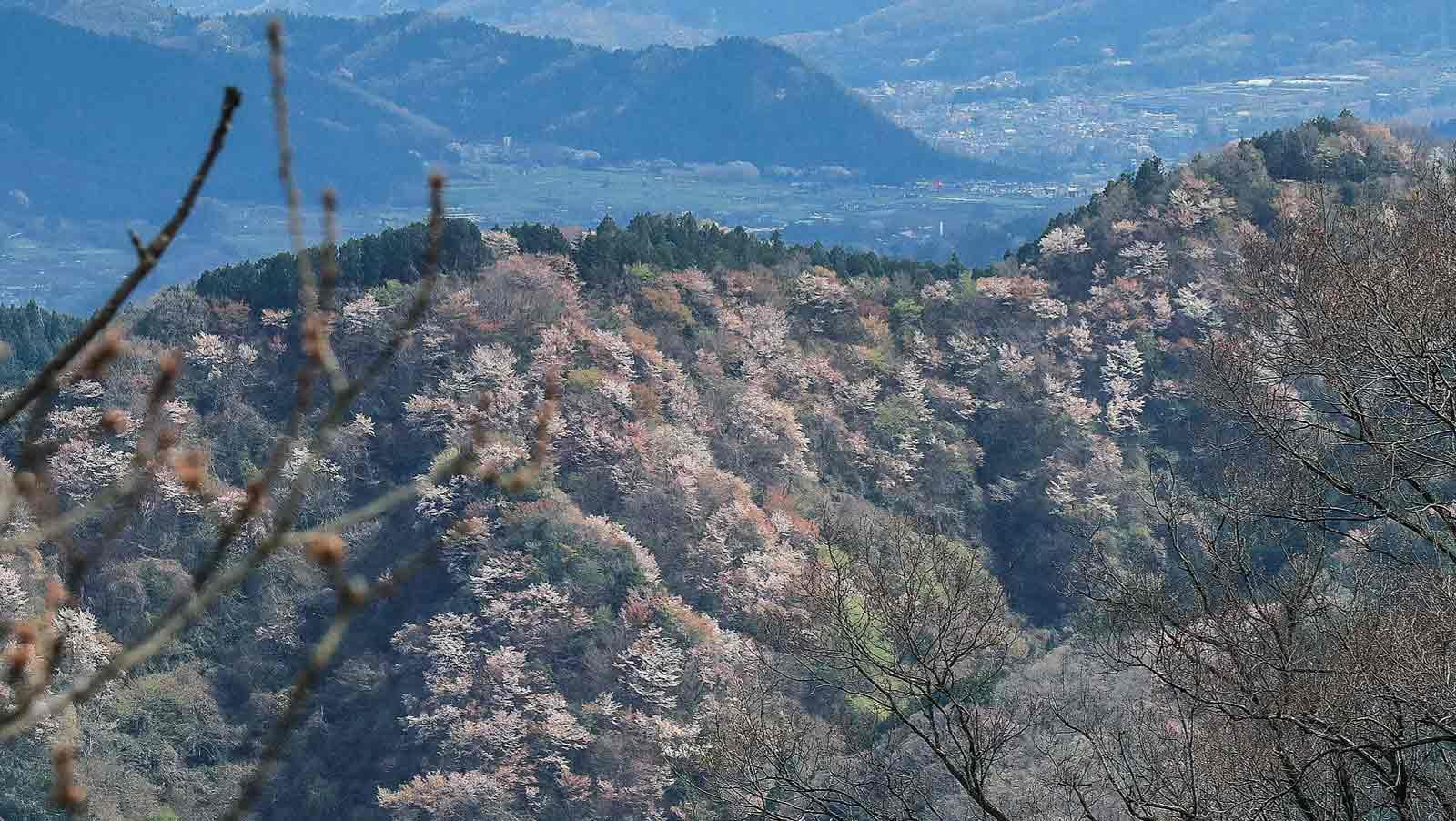 高尾山頂から見る里山の山桜
