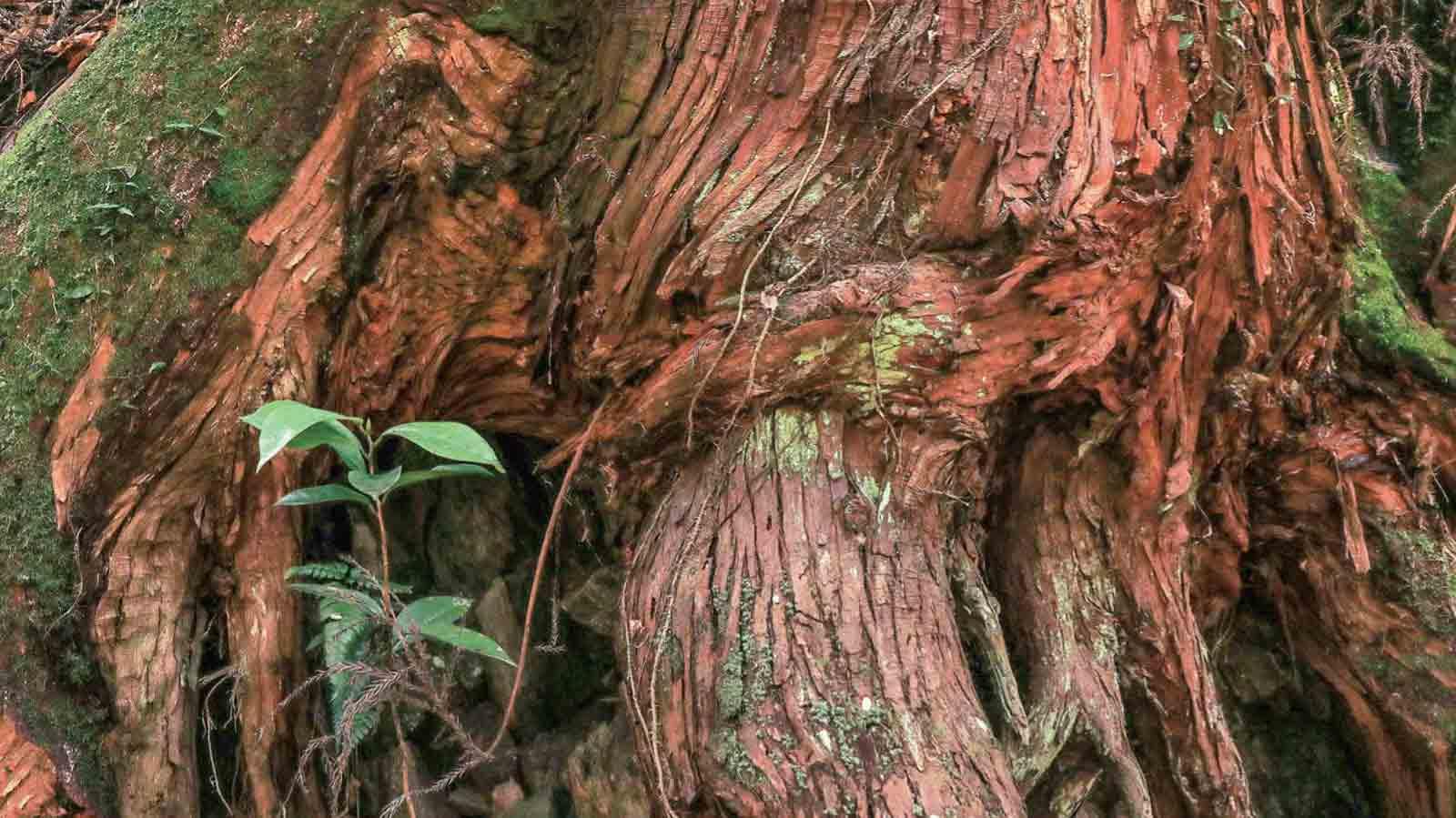 赤松の老木に育まれる新しい命